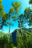 Birich trees against the blue sky. Summer scenery — Stock Photo