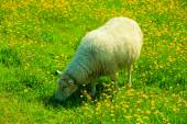 Sheep on beautiful mountain meadow — Stock Photo