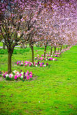 Cherry trees in a row. Garden spring blossom. — Stock Photo