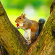 Grey squirrel in autumn park eating apple — Stock Photo #74262905