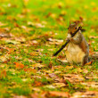 Grey squirrel in autumn park — Stock Photo #79644314