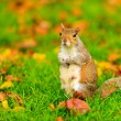 Grey squirrel in autumn park — Stock Photo #80168774