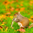 Grey squirrel in autumn park — Stock Photo #80501234