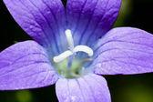 Blue flower — Stock Photo