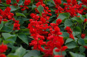 Salvia splendens scarlet Sage or Tropical Sage — Stock Photo