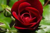 Red rose in garden — Stock Photo