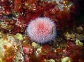 Zee-egels echinus — Stockfoto