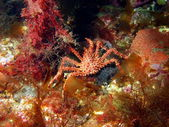 The young king crab — Stock Photo