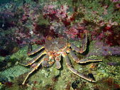 King crab — Stock Photo