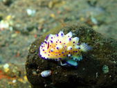 True sea slug — 图库照片