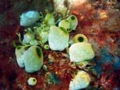 Sea squirts — Stock Photo