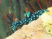 True sea slug — Stock Photo