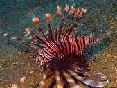 フサカサゴの類 — ストック写真