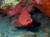 石斑鱼 — 图库照片