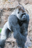 大猩猩 — 图库照片
