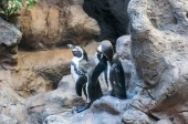 Penguin of antarctica — 图库照片