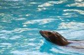 Seal saltwater mammal — Stockfoto