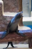 Seal saltwater mammal — Stok fotoğraf
