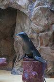 Seal saltwater mammal  — Stock fotografie
