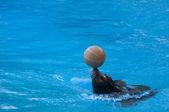 Seal saltwater mammal  — Stock Photo