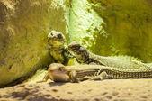 Lizards sunbathing  — 图库照片