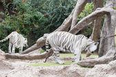 白老虎 — 图库照片