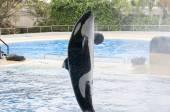 Orca swimming — Stock Photo