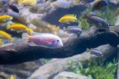 熱帯魚の水泳 — ストック写真