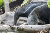 Anteater — Stock Photo