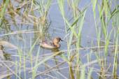 Little Grebe, tachibaptus ruficollis — Stock Photo