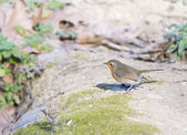 Erithacus rubecula, robin — Stock Photo