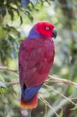 Eclectic parrot, eclectus roratus — Stock Photo