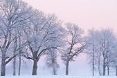 Frosted Trees at Dawn — Stock Photo