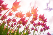 Lily tulips — Stock Photo