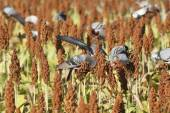 The birds devastate millet and sorghum fields of subsistence farmer — Stock Photo