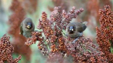 The birds devastate millet and sorghum fields — Vidéo