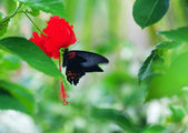 Black swallowtail on a red flower — Stock Photo
