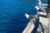 Two gulls resting in Cape Town harbour — Stock Photo