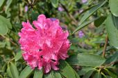Rhododendron flowers in sunny day — Stock Photo