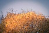 Top of autumn maple tree with yellow foliage on blue sky — Zdjęcie stockowe