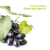 Cluster of ripe dark blue grapes isolated on white background — Stock Photo