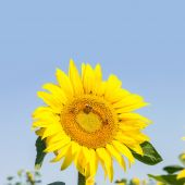 Blossoming raw sunflower on field with blue sky background — Stok fotoğraf