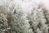 Winter nature background. Frosted trees with selective focus — Stock Photo