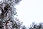 Evergreen christmas tree in frost at winter morning — Stock Photo