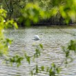 White beautiful swan floating at the pond — Stock Photo #72183553