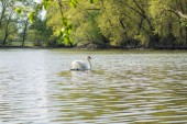 White swan at the pond — Stock Photo