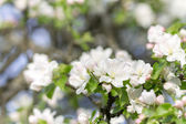 Blossoming apple tree background. — Stock Photo