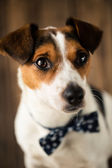 Cute dog with stylish butterfly tie posing for the photo — ストック写真