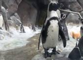 Portrait of Humboldt Penguin — Stock Photo
