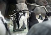 Small Humboldt penguins — Stock Photo